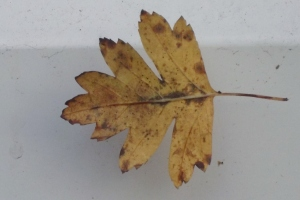 Leaf on window sill: Autumn 2012
